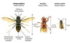 Muere otro hombre en Galicia al picarle una avispa asiática