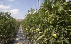 Oda al tomate en Miranda de Ebro