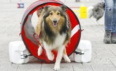 Competición de perros ágiles en el Boulevard de Vitoria