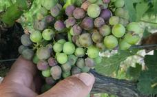 Un porcentaje «elevado» de viñedos de Rioja Alavesa sufre ataques de un hongo