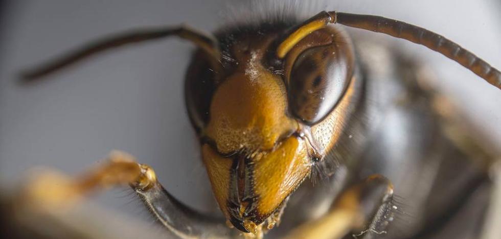 La avispa asiática sigue asentada en Bizkaia: 832 nidos retirados este año