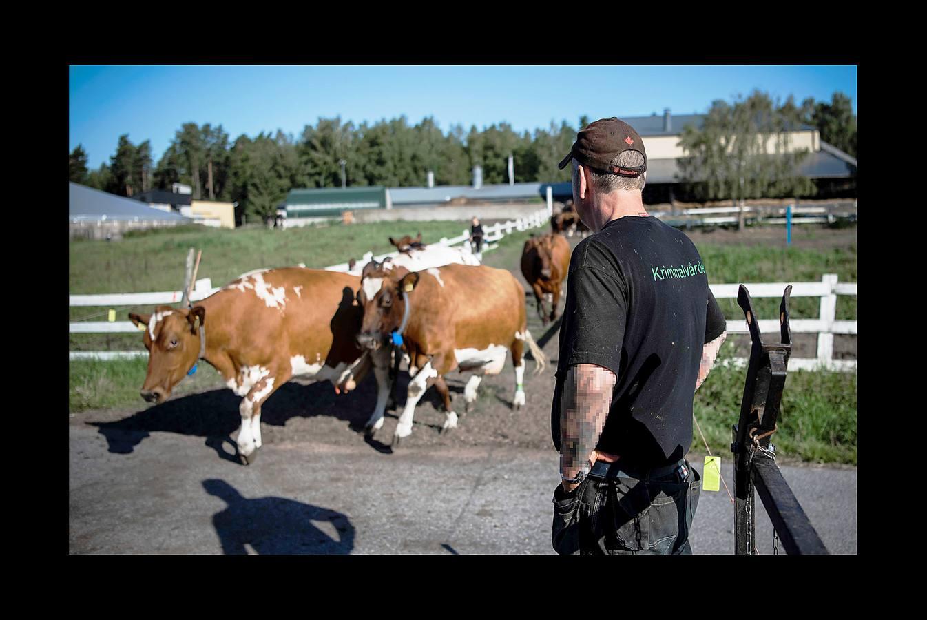 Reinserción entre vacas