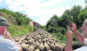 Soria: al lento paso del rebaño