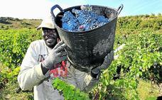 Cuenta atrás para la vendimia en Rioja Alavesa