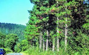 Álava busca un tratamiento para atajar la mortandad de sus pinos
