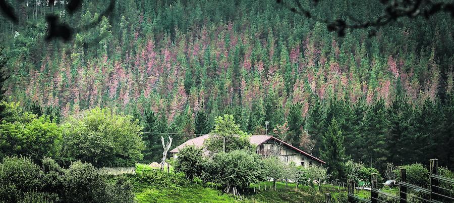 La Diputación reconoce que carece de medios para evitar la muerte de los pinos