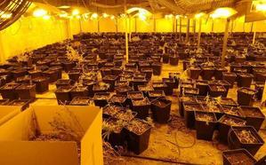 La Ertzaintza descubre 900 plantas de marihuana en unos invernaderos en Erandio