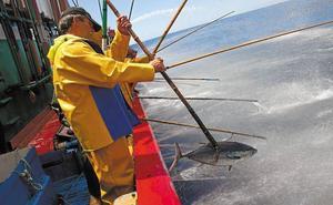 Las cofradías reclaman 8.000 toneladas más de bonito para la costera