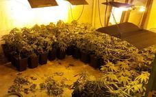 Incautan 2.500 plantas de marihuana en Bizkaia en solo una semana