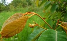 La UPV descubre una planta del Amazonas que mata las células del cáncer de hígado
