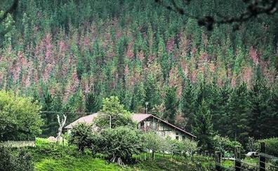 La Diputación descarta que la 'peste del pino' pueda afectar a especies autóctonas