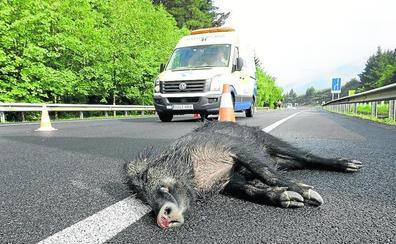Jabalíes y otros animales causaron el pasado año 156 accidentes en carreteras vizcaínas