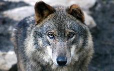 El Gobierno vasco incluirá al lobo en el catálogo de especies amenazadas