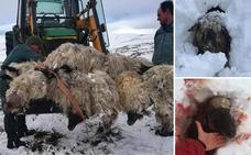 El ataque de tres perros deja una veintena de ovejas muertas en Zigoitia