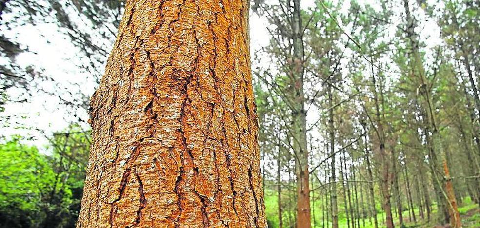 La 'peste del pino' se cuela en el presupuesto de la Diputación