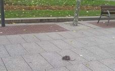 La mayor presencia de ratas en la calle obliga a Santurtzi a reforzar su dispositivo