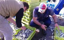 La anchoa en el Golfo de Vizcaya atraviesa su mejor momento