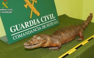 Patas de elefante, caimanes disecados... 15 investigados en Bizkaia por traficar con fauna protegida