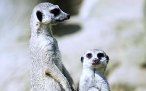 El Karpin de Carranza recibe a sus dos primeros suricatos