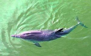 Desaparece el delfín enfermo del Puerto de Santurtzi