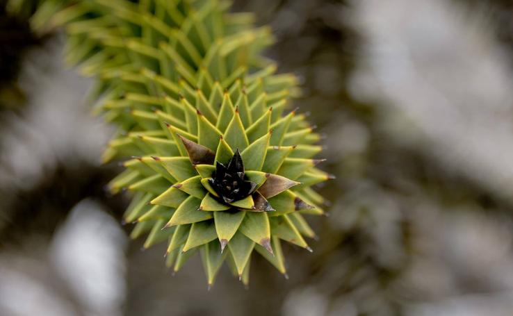 El edén de las araucarias