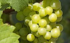 Dos millones de kilos de uvas para doce campanadas