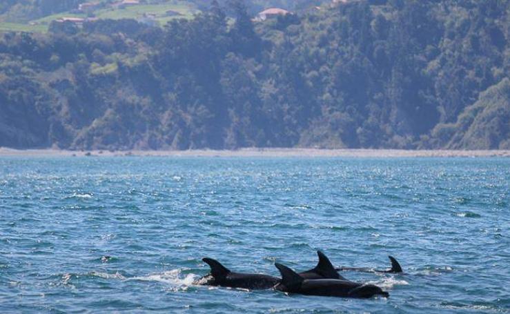 La costa vasca, zona de paso y de muerte para cetáceos