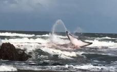 Así luchó la ballena por sobrevivir