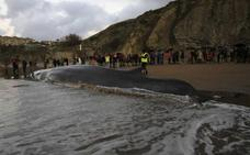 Máxima expectación en Sopela por la llegada del cetáceo