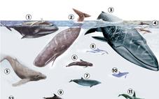 Los cetáceos del Cantábrico