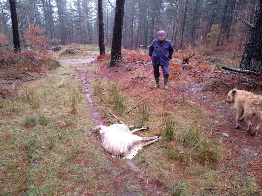 Alertan del aumento de ataques de perros a ovejas en los montes de Orozko