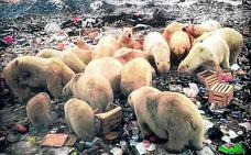 Invasión de osos polares hambrientos