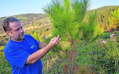 El Gobierno veta las fumigaciones con óxido cuproso para atajar la 'peste del pino'