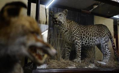 Leones, pumas, lobos... Descubrimos el único Museo de Ciencias Naturales de Bizkaia
