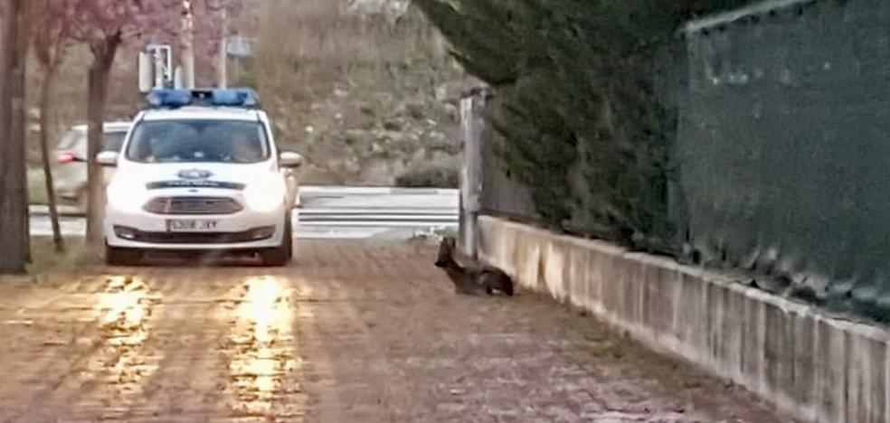 La Policía Local de Vitoria rescata un corzo herido en Ibaiondo
