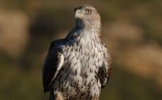 El águila Bonelli muestra su vuelo acróbata en Izki