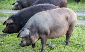 Logran restaurar las funciones cerebrales de un cerdo horas después de muerto