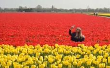 Holanda protege a sus tulipanes de los selfies de los turistas