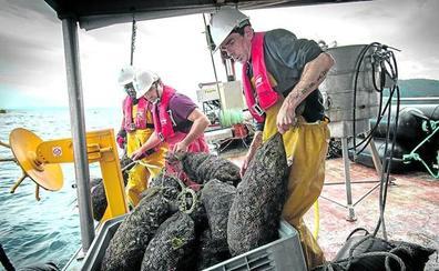 Los primeros mejillones cultivados en la costa de Bizkaia llegan al consumidor