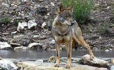 Visitas guiadas para localizar al lobo, un nuevo atractivo turístico