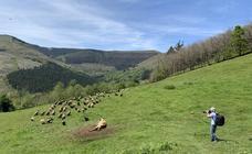 Buitres leonados devoran los restos de una vaca en Cabuérniga (Cantabria)