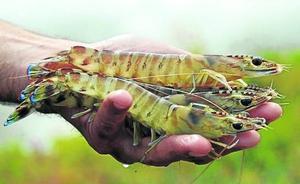 Camarones yonquis en los ríos ingleses