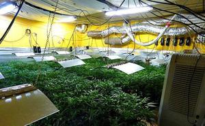 Desmantelan tres grandes plantaciones de marihuana en Álava y Bizkaia
