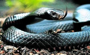 Las serpientes matan o incapacitan a 500.000 personas al año