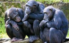 Los chimpancés tienen una capacidad retentiva «superior» a la humana