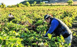 El cambio climático amenaza con plagas y alteraciones en la uva en Rioja Alavesa