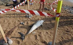 Aparece un delfín muerto en la playa de La Arena