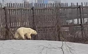 Una osa polar recorre cientos de kilómetros en Siberia buscando comida