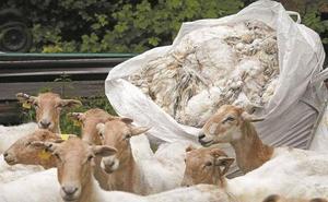 Ikea quiere comprar 700 toneladas de lana vasca