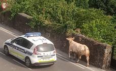 Una vaca fugitiva pasea por Llodio
